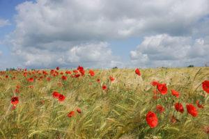 Prenez Place - Les coquelicots de Normandie